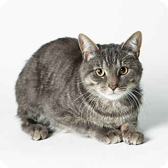 Domestic Shorthair Cat for adoption in Rockaway, New Jersey - Ozzie