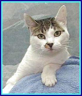 Domestic Shorthair Cat for adoption in Lago Vista, Texas - Precious