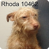 Adopt A Pet :: Rhoda - baltimore, MD