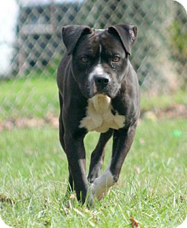 Boxer/Pit Bull Terrier Mix Dog for adoption in Oxford, North Carolina - T-Bone