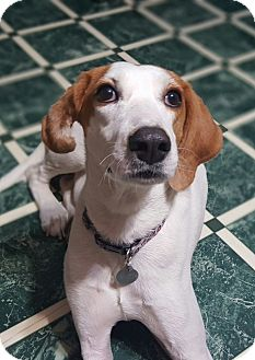 Foxhound Mix Dog for adoption in Knoxville, Tennessee - Lila
