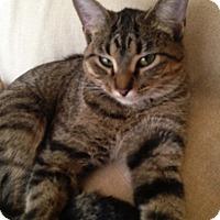 Adopt A Pet :: Halo - Lombard, IL