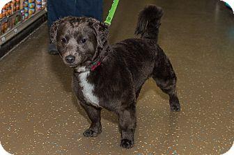 Dachshund/Border Collie Mix Dog for adoption in Livonia, Michigan - Cricket - Adoption Pending