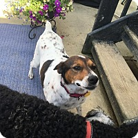 Rat Terrier/Jack Russell Terrier Mix Dog for adoption in Florence, Kentucky - Heidi