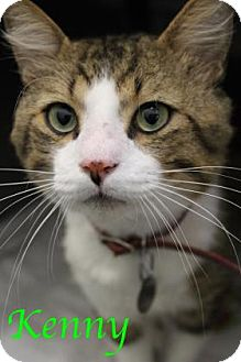 Domestic Shorthair Cat for adoption in Bradenton, Florida - Kenny