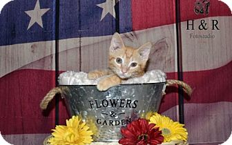 American Shorthair Kitten for adoption in Lorain, Ohio - Pumpkin