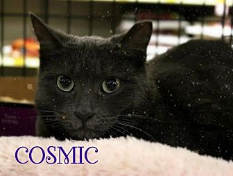 Russian Blue Cat for adoption in Hazlet, New Jersey - Cosmic