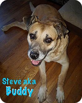 Labrador Retriever/German Shepherd Dog Mix Dog for adoption in Berea, Ohio - Buddy