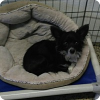 Chihuahua Dog for adoption in Mukwonago, Wisconsin - Dafne