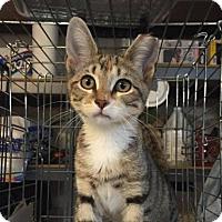 Adopt A Pet :: Darcy - New York, NY