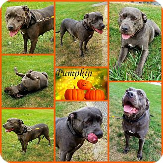Pit Bull Terrier Mix Dog for adoption in Joliet, Illinois - Pumpkin