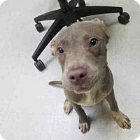 Adopt A Pet :: KINGO - Olivette, MO