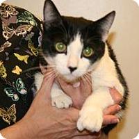 Domestic Shorthair Cat for adoption in Wildomar, California - Marley