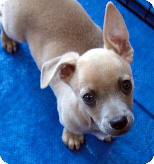 Basenji/Dachshund Mix Puppy for adoption in Buena Park, California - Mikey