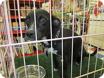 Terrier (Unknown Type, Small) Mix Dog for adoption in Lancaster, California - Snuggles