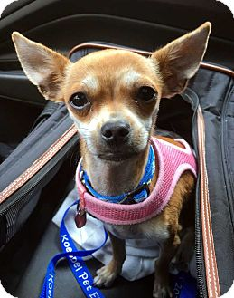 Chihuahua Puppy for adoption in New York, New York - Willie! *Adoption Pending!*