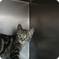 Adopt A Pet :: POUNCER - Tucson, AZ
