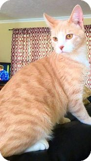 Domestic Shorthair Cat for adoption in Des Moines, Iowa - Niles