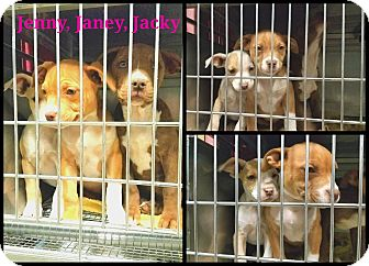 Pit Bull Terrier Mix Puppy for adoption in California City, California - Jenny, Jackie, Jacky (1 left)