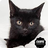 Domestic Shorthair Kitten for adoption in Wyandotte, Michigan - Chirpie