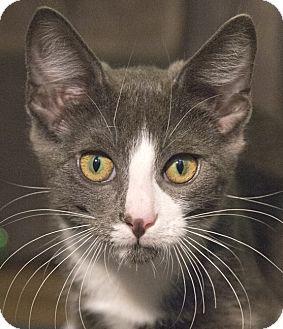 Domestic Shorthair Kitten for adoption in Chicago, Illinois - Calder