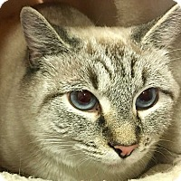 Siamese Cat for adoption in Mooresville, North Carolina - JENNI