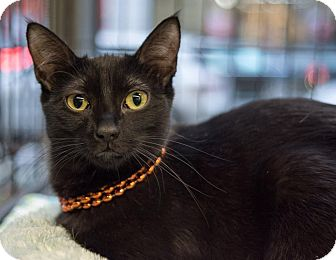 Domestic Shorthair Cat for adoption in New York, New York - Clarisse