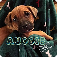 Adopt A Pet :: Auggie - Foristell, MO