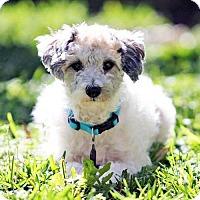 Adopt A Pet :: Bacall - ROSENBERG, TX