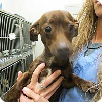 Adopt A Pet :: Napolean - Murphysboro, IL