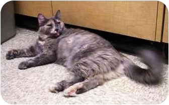Domestic Longhair Cat for adoption in Irvine, California - Chloe