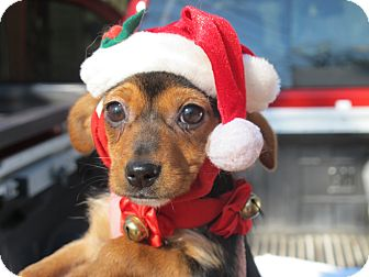 Dachshund/Yorkie, Yorkshire Terrier Mix Puppy for adoption in Spring Valley, New York - Jingle Belle