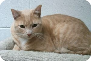 Domestic Shorthair Cat for adoption in Colorado Springs, Colorado - Yonkers