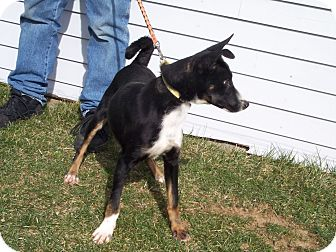 Basenji/German Shepherd Dog Mix Puppy for adoption in Germantown, Maryland - Dexter