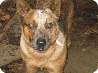 Australian Cattle Dog/Blue Heeler Mix Dog for adoption in Homewood, Alabama - Preston