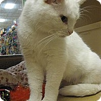 Domestic Shorthair Cat for adoption in Temple, Pennsylvania - Tiny Princess