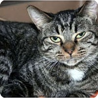 Domestic Shorthair Cat for adoption in Canoga Park, California - Yabba