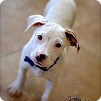 Adopt A Pet :: Cooper - Gilbert, AZ