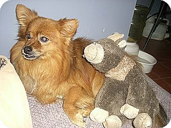 Pomeranian Mix Dog for adoption in Mahopac, New York - RUSTY