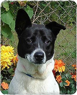 Karelian bear dog border collie mix - photo#4