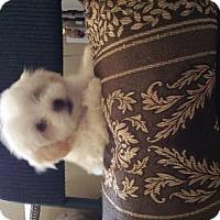 Adopt A Pet :: BICHON FRISE HANDSOME HONEY - Surprise, AZ
