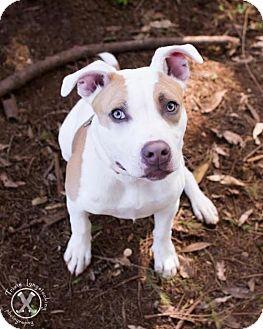American Staffordshire Terrier Dog for adoption in Eugene, Oregon - Connor