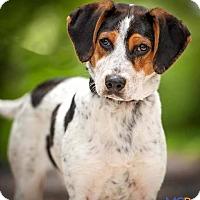 Adopt A Pet :: Shortstack - Alexandria, VA