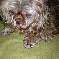 Shih Tzu Dog for adoption in Butler, Ohio - Ruby