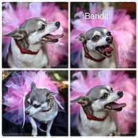 Adopt A Pet :: Bandit - Fort Worth, TX