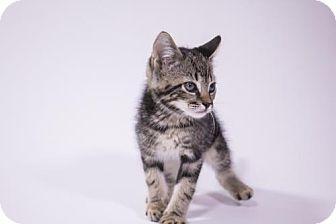 Domestic Shorthair Kitten for adoption in Savannah, Georgia - Priest