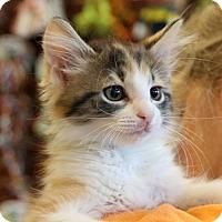 Adopt A Pet :: Sansa - Potomac, MD