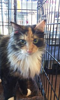 Domestic Mediumhair Cat for adoption in Fort Worth, Texas - Pumpkin