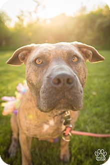 American Pit Bull Terrier/Pit Bull Terrier Mix Dog for adoption in Milwaukee, Wisconsin - Honey Bee
