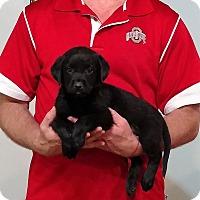 Adopt A Pet :: Maximus - Gahanna, OH